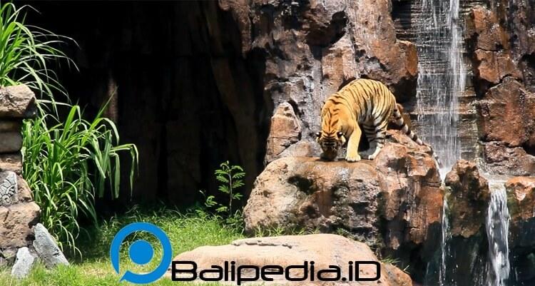 Harimau Show Taman Safari Bali